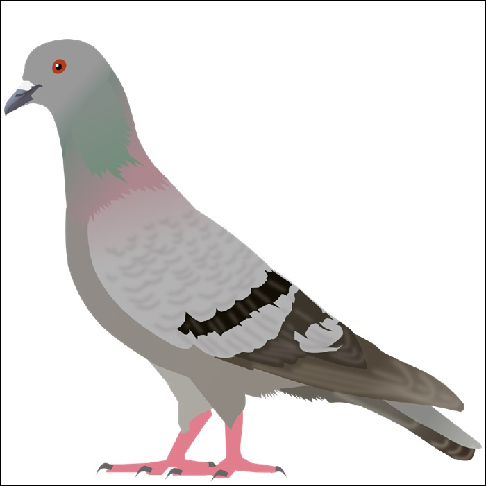Animated Images Of A Pigeon