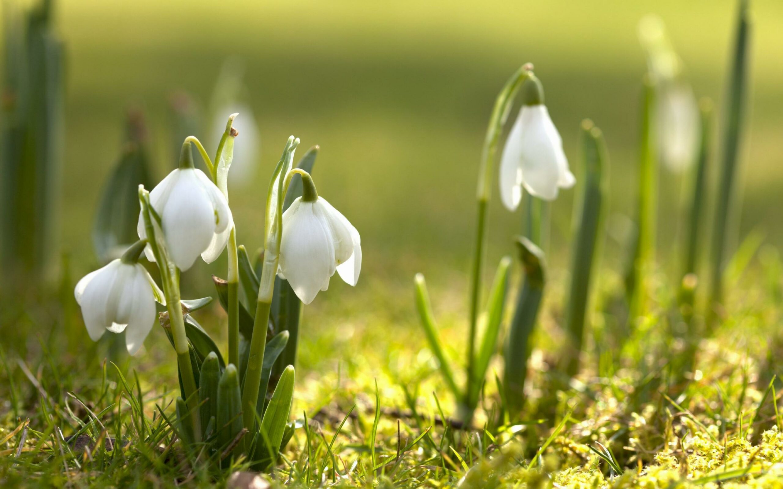 spring lilies wallpapers