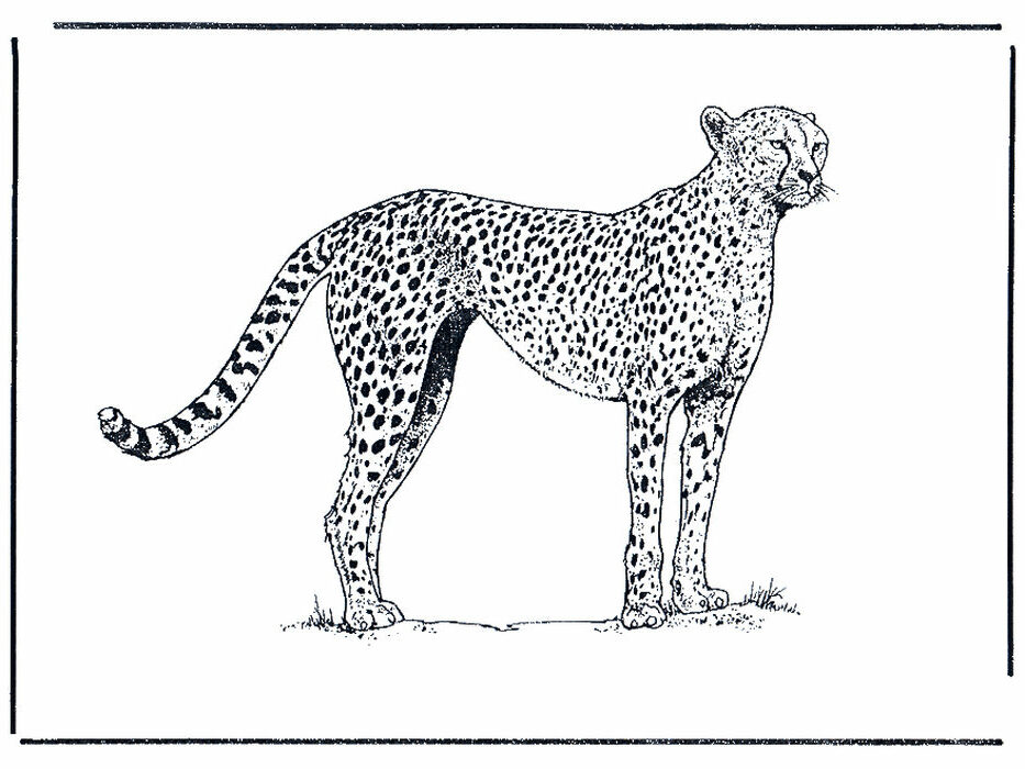 Cheetah Coloring Pages.