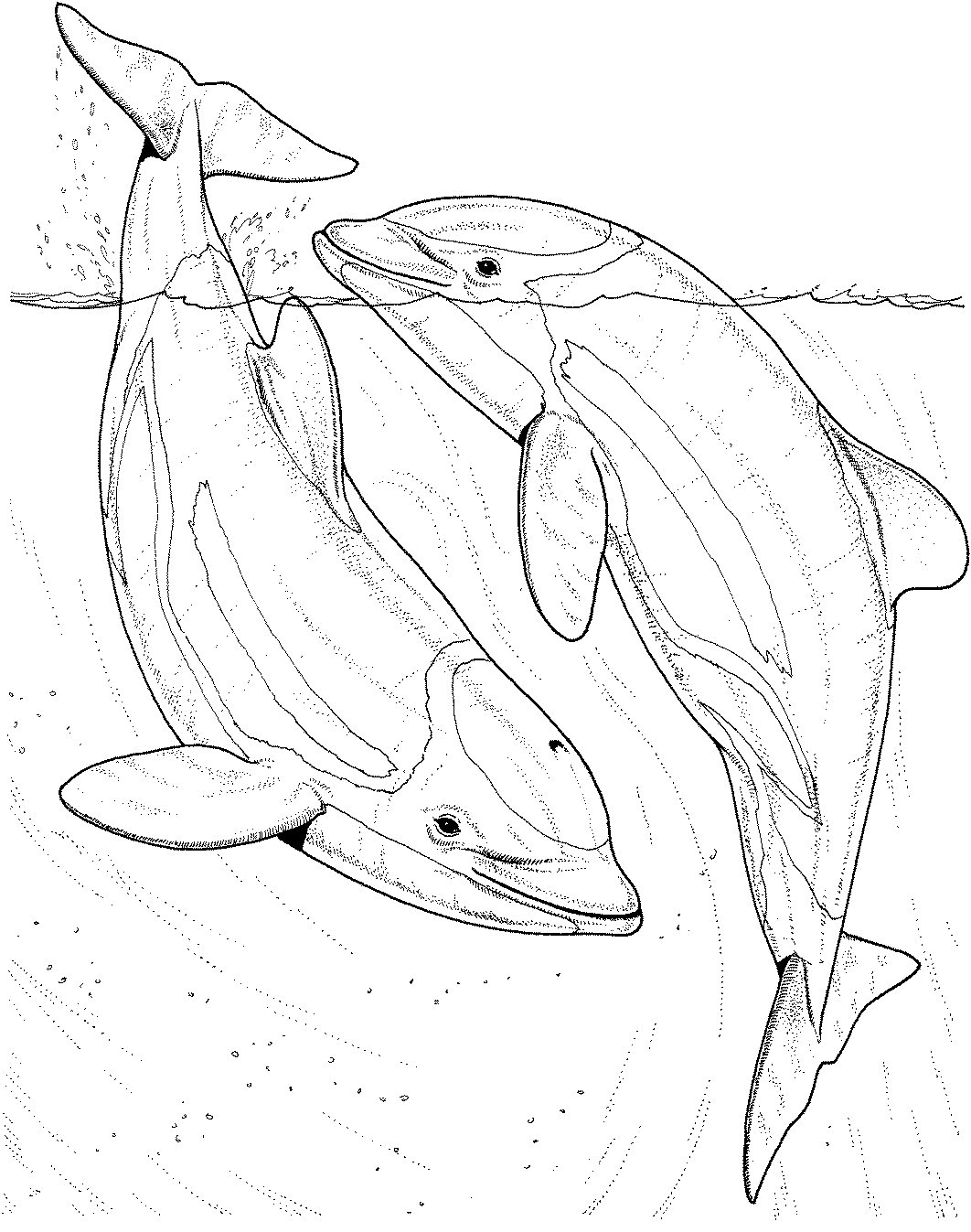 Free Printable Dolphin Coloring Pages