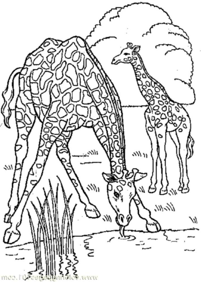 Real Giraffe Coloring Pages For Kids